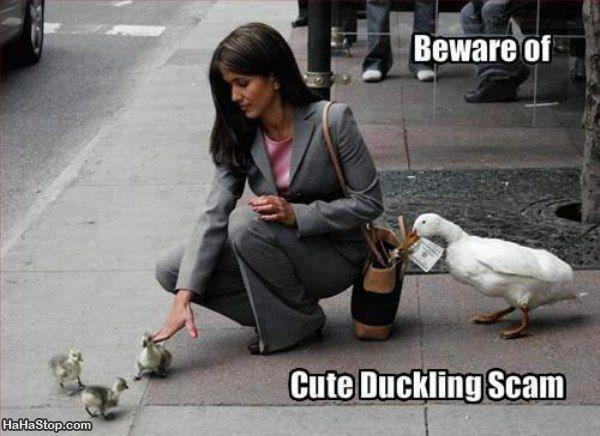 [Image: Animals-CuteDucklingScam.jpg]