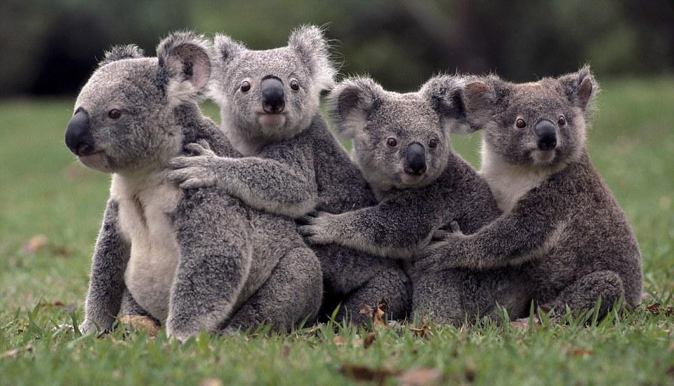 Animals-koala%20hugs.jpg