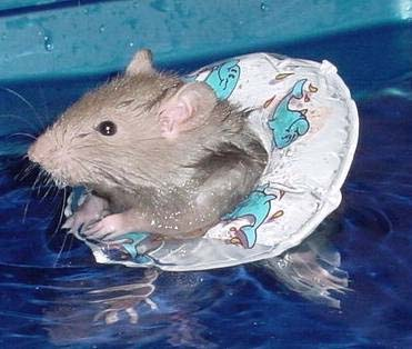 Animals-rat-in-life-vest.jpg