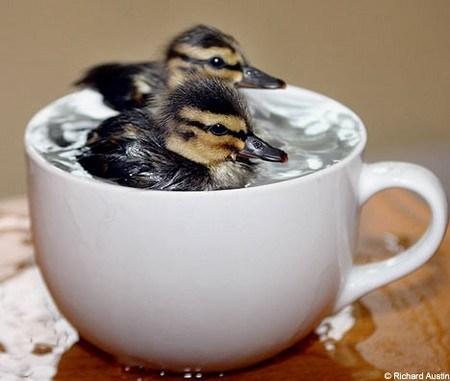 [Image: Ducks-ducklings.jpg]