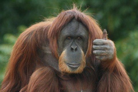 Monkeys-ThumbsUp.jpg